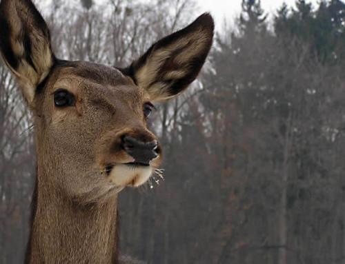 Ruhig Blut: Neuer Wirkstoff verspricht verbesserte Narkosen bei Wildtieren